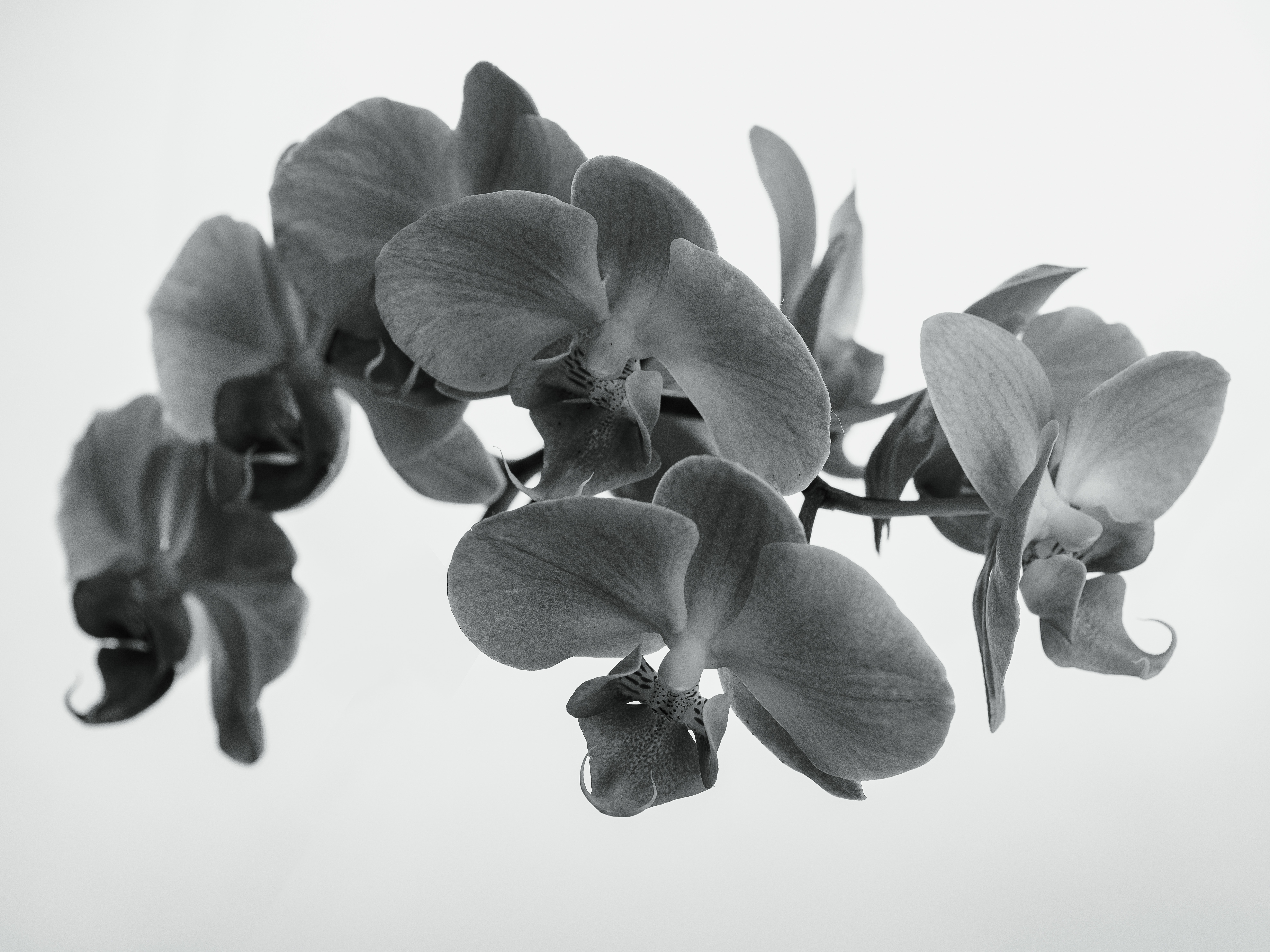Greyscale Orchid